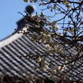 写真: 白梅が咲きだした長谷寺201501