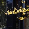 写真: 経蔵付近のマンサクの花20150131