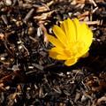 写真: 春を告げる福寿草201501