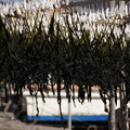 写真: 鎌倉わかめ干しも始まり201501