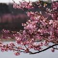 河津桜と池2015