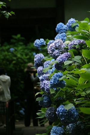 ブルーの紫陽花!(100626)