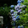 Photos: ブルーの紫陽花!(100626)
