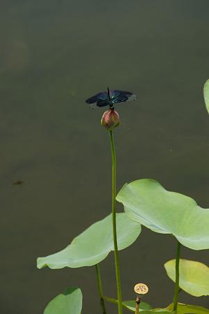 蝶トンボの逆立ち!(20100815)