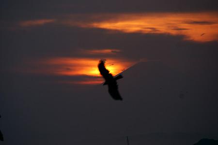 富士山の稜線に飛ぶトンビ!