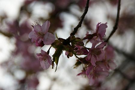 河津桜の情景!(110219)