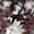 Photos: 河津桜の情景!(110219)