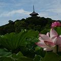 写真: 蓮の花と三重の塔!(110718)