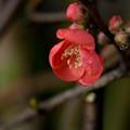 Photos: 木瓜咲き始めました~♪