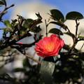 冬空の山茶花