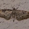 未同定 Eupithecia sp. ナミシャク亜科 20130325-4