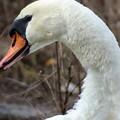 写真: 白鳥2
