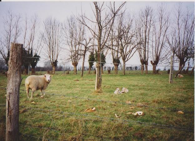 2015年の干支「未」にちなみ羊の写真