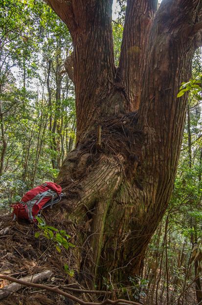 段ノ谷山 巨木