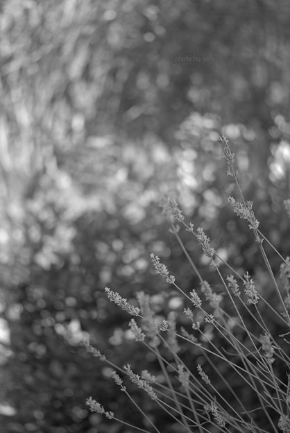 lavender_2010_7_24_2_bw