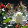 写真: 薔薇の夢?