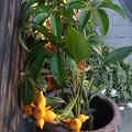 フォックスフェイス ツノナス カナリアナス ナス科 観葉植物 1123 976