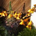 フォックスフェイス ツノナス カナリアナス ナス科 観葉植物 ウコギ科 カポック 1123 977