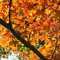 Photos: 「日に輝く・・紅葉・・」・・・