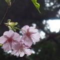 写真: 「河津桜」・・・・