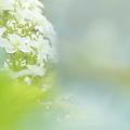 覗く紫陽花