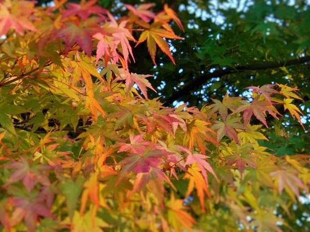 備後地方の紅葉はじまる。
