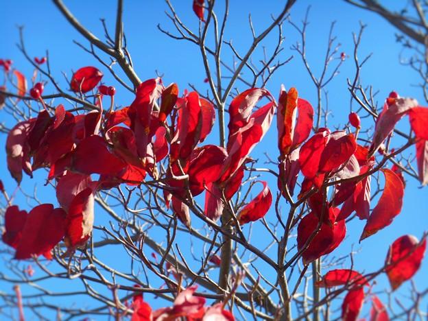 寒波第一陣の到来とハナミズキの紅葉。