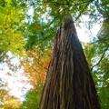 含暉(がんき)坂の真っ直ぐな杉は真っ直ぐに生きている。