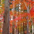 写真: 備後路 参道の秋~杉木立の紅葉~