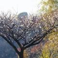 つぼみ綻ぶ梅の里