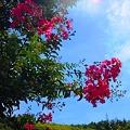 紅い百日紅の咲く丘