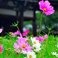 Photos: 春咲きのコスモス