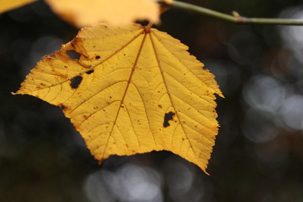 ウリハダカエデ(瓜膚楓)  カエデ科の黄葉