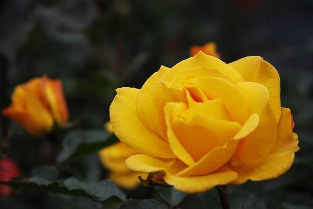 バラ (薔薇)