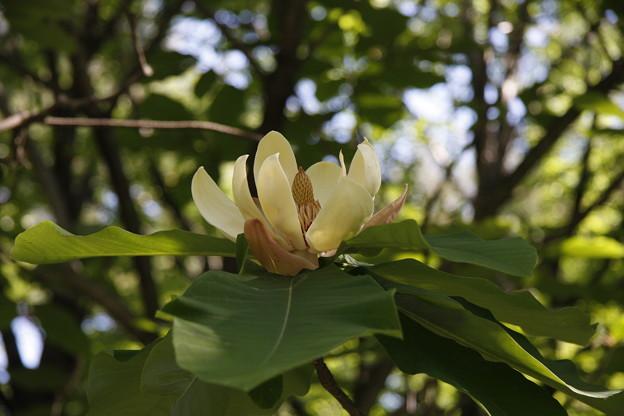 ホオ(朴)花