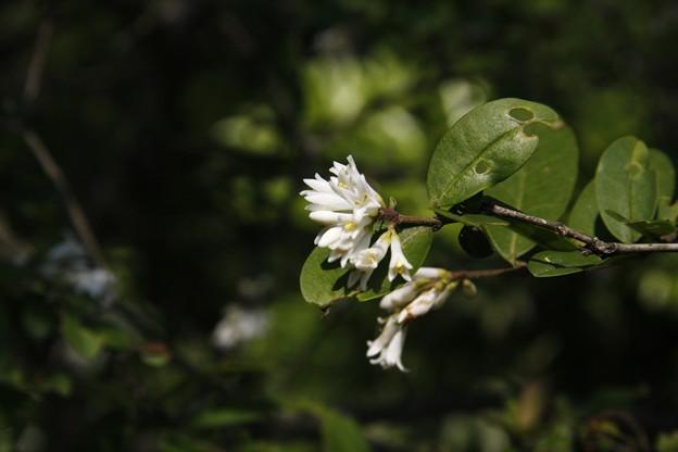 イボタの木、(水蝋の木:疣取木)花