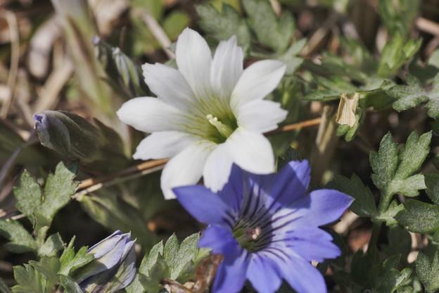 前回アップの白いハルリンドウ(春竜胆)