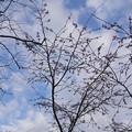 十月桜_箱根 C07669