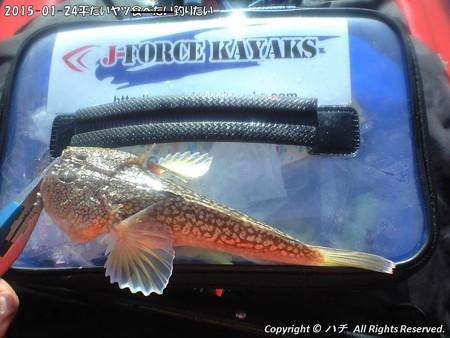 2015-01-24平たいヤツ食べたい釣りたい (8)