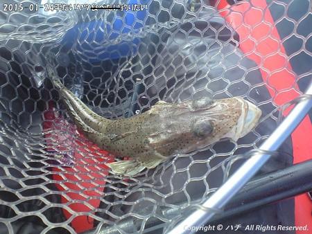 2015-01-24平たいヤツ食べたい釣りたい (14)