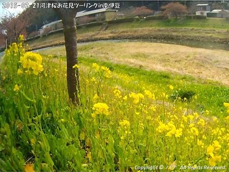 2015-02-21河津桜お花見ツーリングin南伊豆 (8)