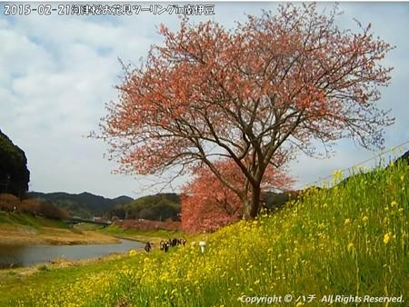 2015-02-21河津桜お花見ツーリングin南伊豆 (13)