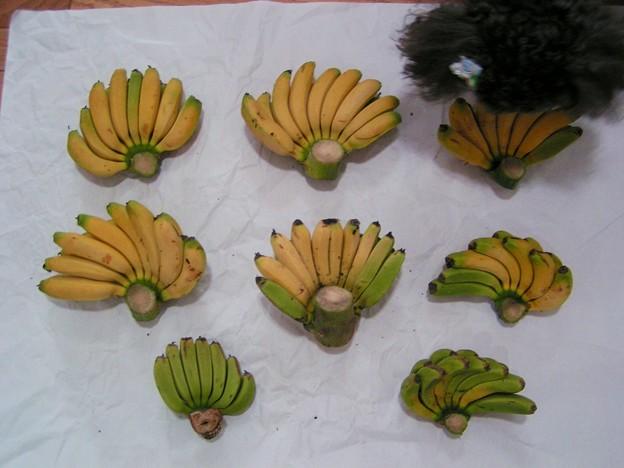 宮崎ミニバナナが熟したよ♪