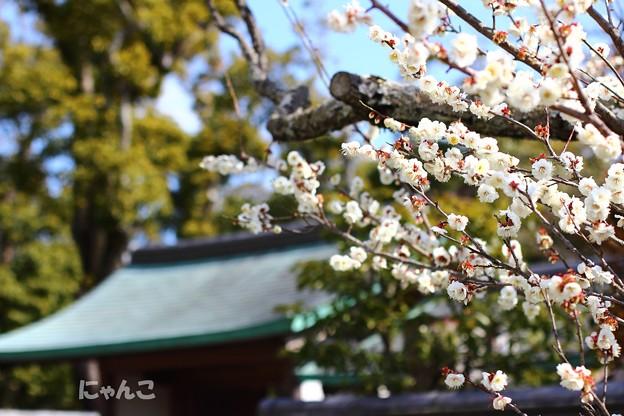 写真: ~白梅の 輝き眩しく 目を細め~