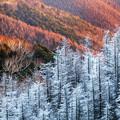 写真: 霧氷の落葉松