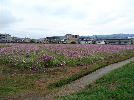 水城跡(7)コスモス畑