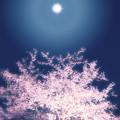 写真: 東山魁夷 桜