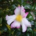 Photos: 141120-1 白とピンクの絞りのサザンカ