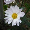 Photos: 141120-3 白い菊1