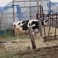 Photos: 警戒する牛